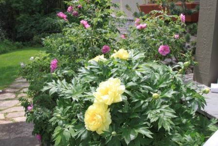 Bartzella with roses copy