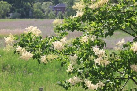 Copy jap lilac blossoms