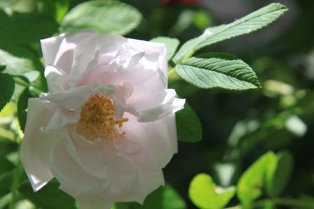 Copy pale pink pavement rose