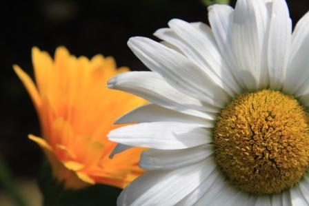 Copy shasta daisy closeup