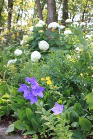 Copy campanula and perennials