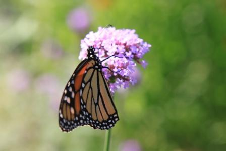 Copy monarch with verbena