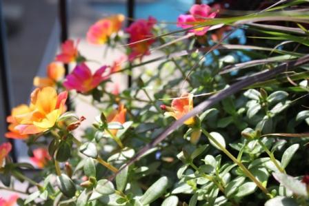 Copy neon rose portulaca