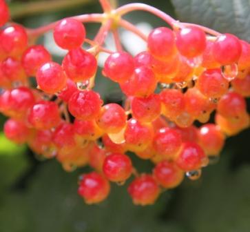 Copy viburnum berries
