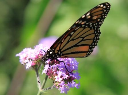 Copy monarch on verbena