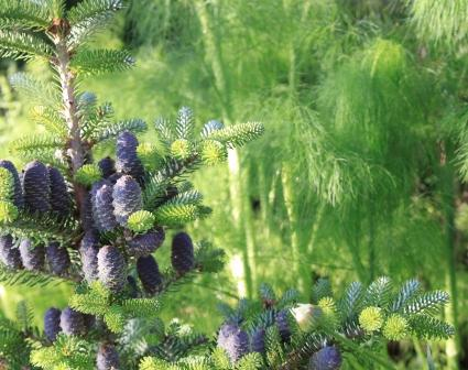 Copy fennel with conifer