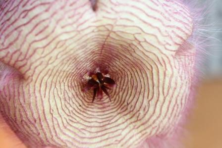 Copy stapelia closeup