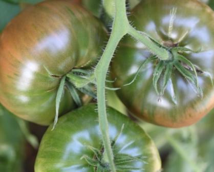 Copy tomato cluster