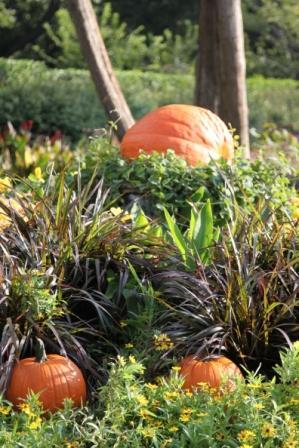 Copy pumpkins dark foliage