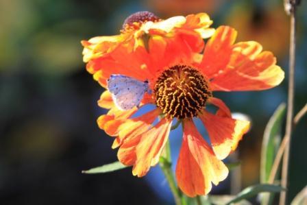 "Blue butterfly on Helenium ""Mardi Gras"""