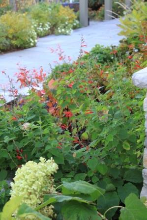 "Salvia elegans ""Honeydew Melon Sage"""