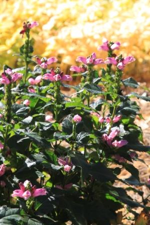 "Chalone lyonii Pink Turtlehead ""Hot Lips"""