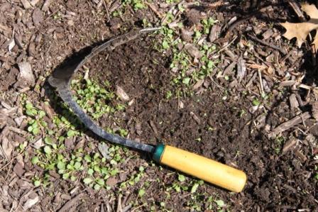 Copy oxeye daisy seedlings