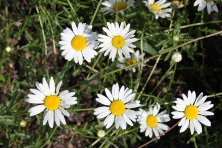 Copy oxeye daisy