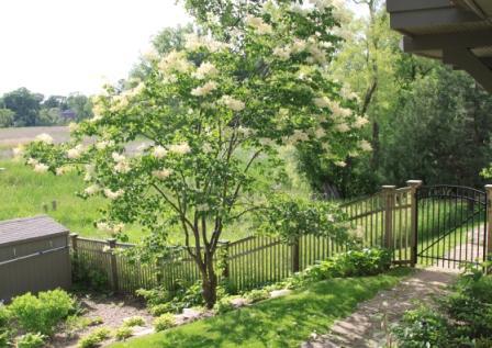 Copy jap lilac tree