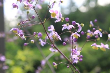 Copy thalictrum flowers