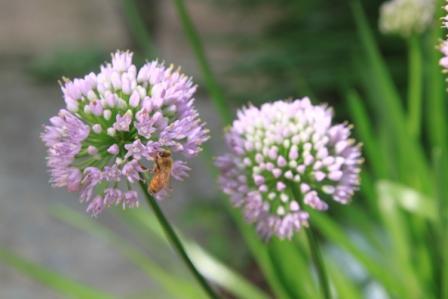 Copy pink allium with bee