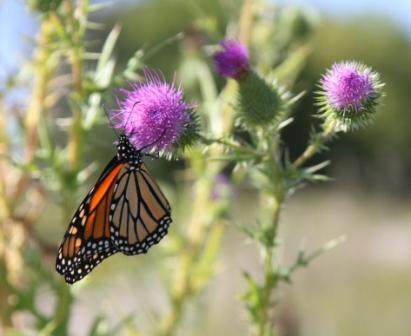 Copy monarch on thistle