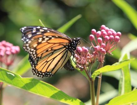 Copy monarch laying eggs