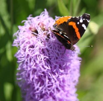 Copy red admiral on liatris