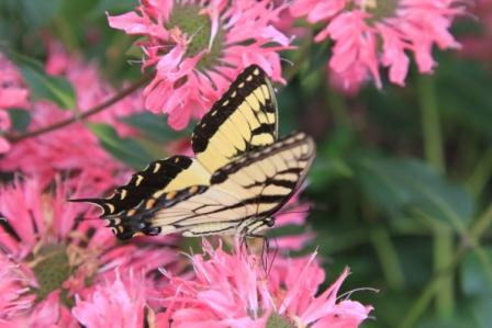 Copy swallowtail on monarda