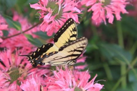 Copy swallowtail on monarda