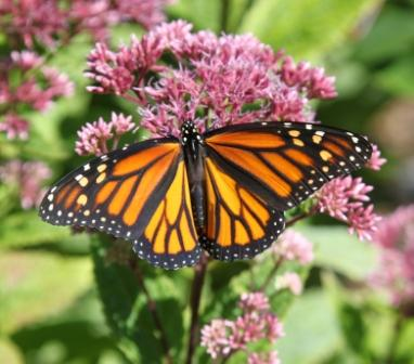 Copy monarch wings spread