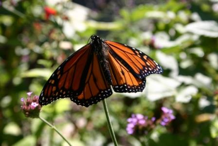 Copy monarch resting