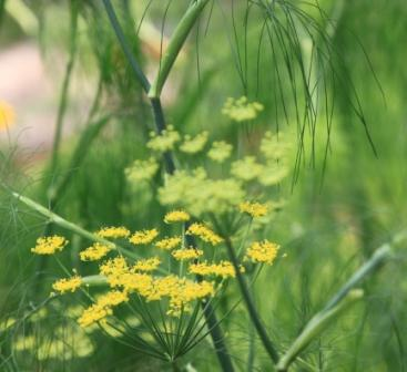 Copy fennel flower
