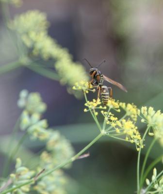 Copy wasp on fennel flower
