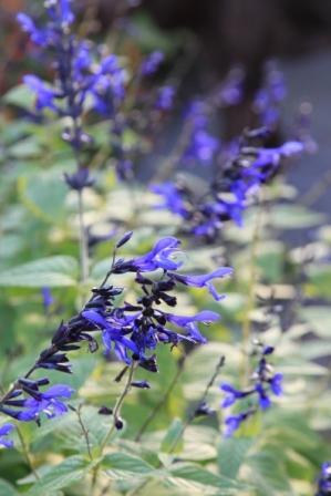 "Salvia guaranitica ""Black and Blue"""