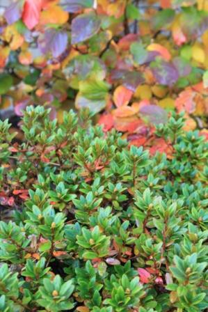 "Rhododendron ""Purple Gem"" in bud"
