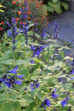 Copy blue salvia 2