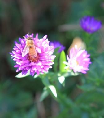 Honeybee aster