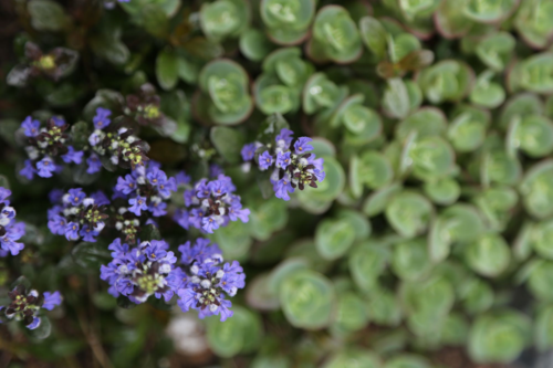 Ajuga 'Chocolate Chips' ground cover