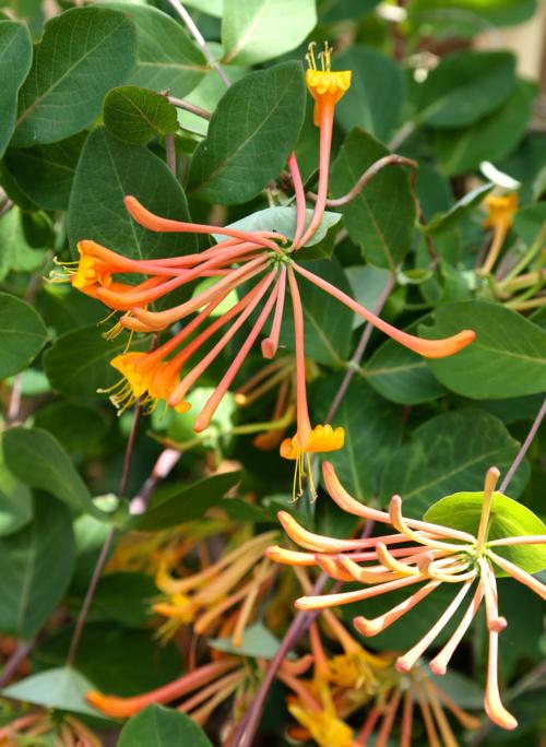 Mandarin Honeysuckle with orange blooms