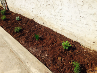 Herb garden planted in hell strip