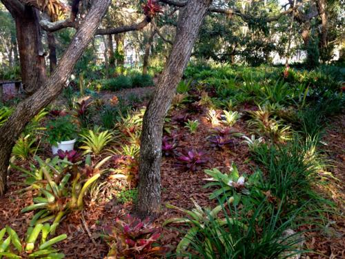 Planting bromeliads under oaks