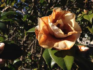 frost damaged camellia