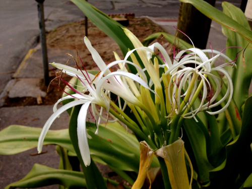 white crinum flower