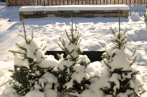 Spruce tops for winter interest
