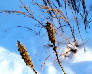 Seed heads on liatris