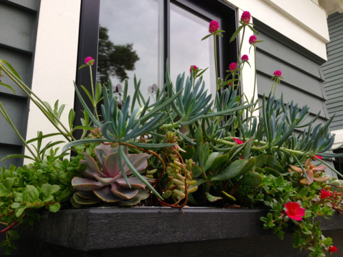 Succulent Window Box, Gomphrena, portulaca
