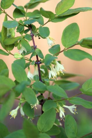 Tundra Honeyberry blooming