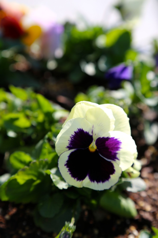 Purple splotched white pansy