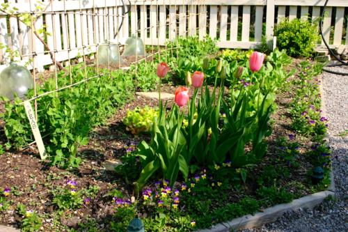 Peas growing in kitchen garden