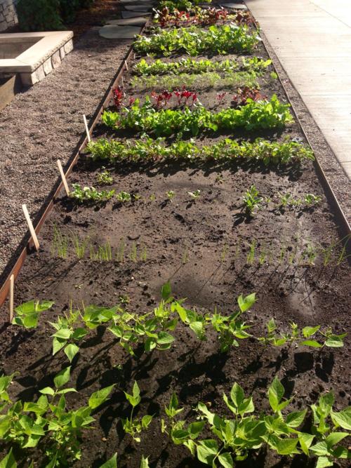 Raised bed vegetable garden, beans, beets, lettuce, carrots