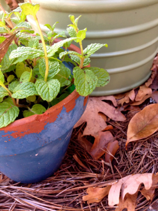 mint in containers