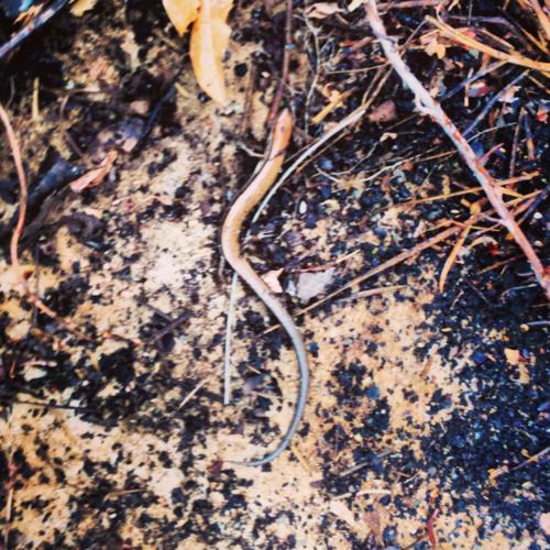 Skink in garden, reptiles