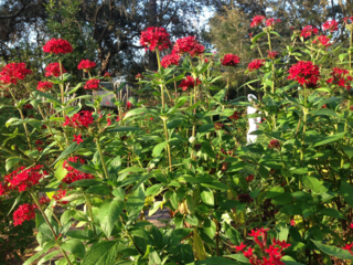 Red pentas attract butterflies
